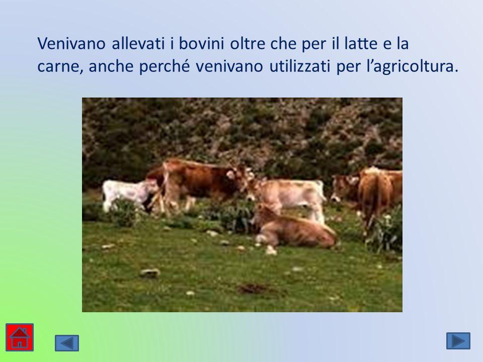 Venivano allevati i bovini oltre che per il latte e la carne, anche perché venivano utilizzati per l'agricoltura.