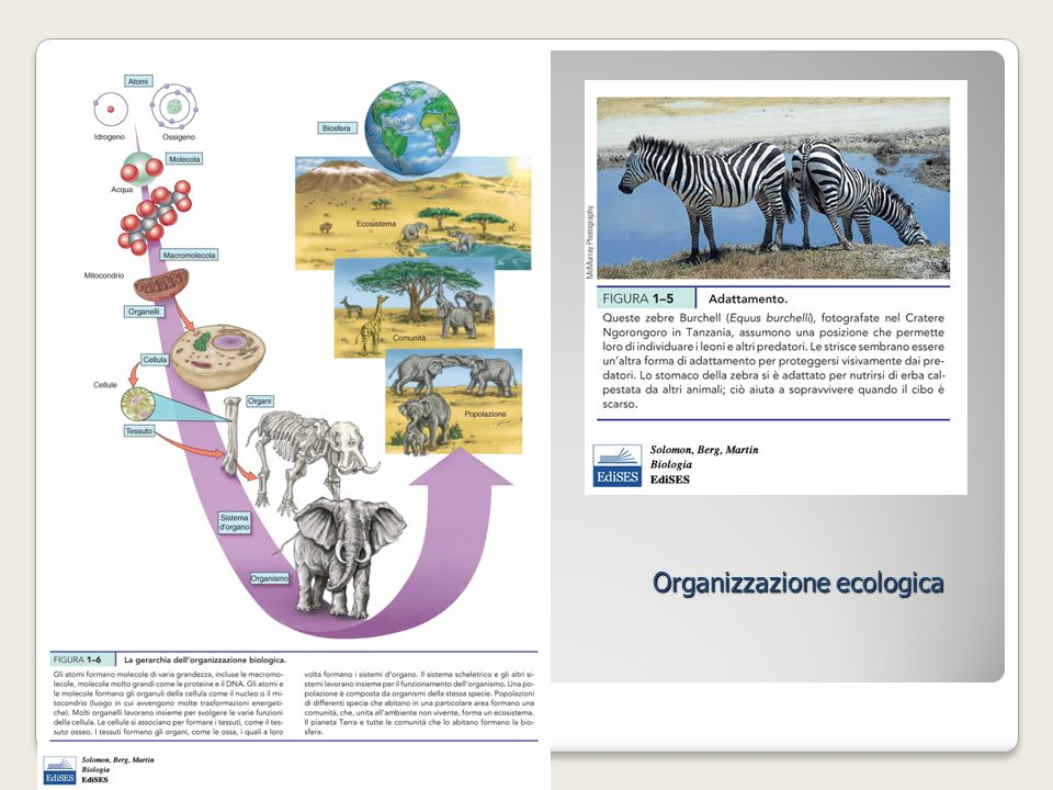 Organizzazione ecologica