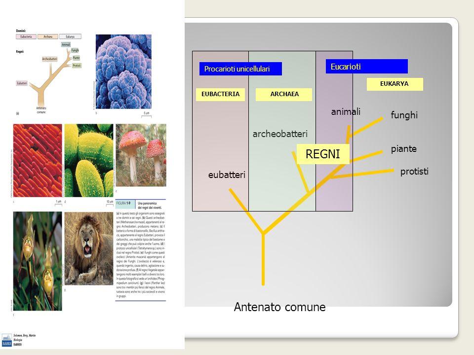 REGNI Antenato comune animali funghi archeobatteri piante protisti