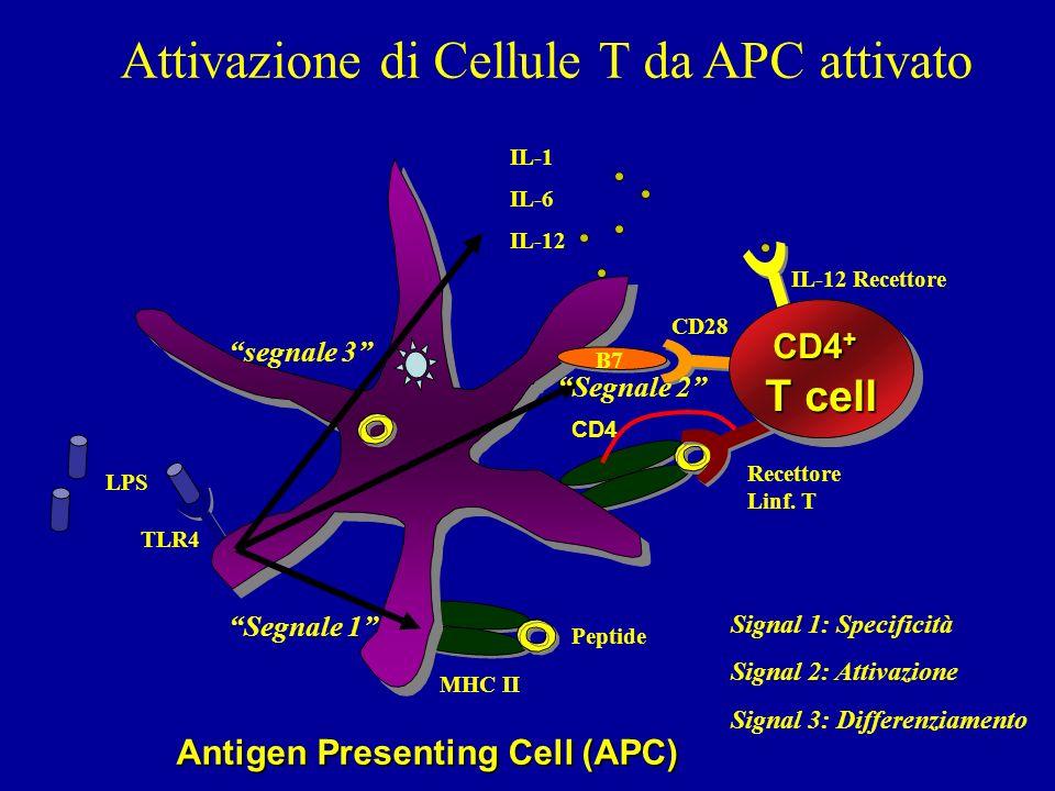 Attivazione di Cellule T da APC attivato