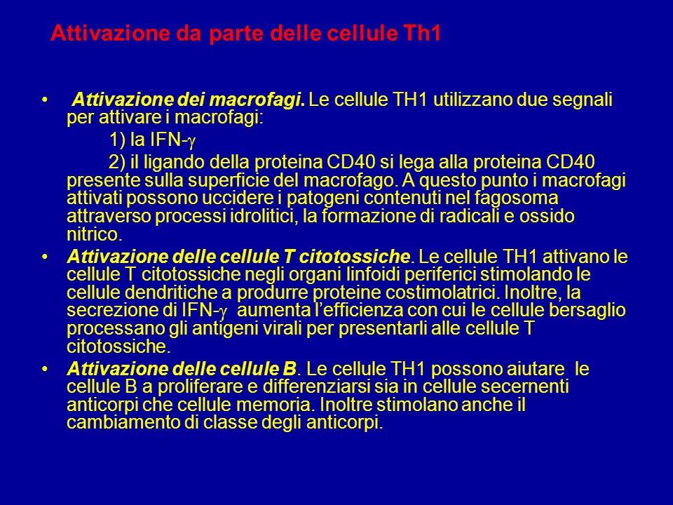 Attivazione da parte delle cellule Th1
