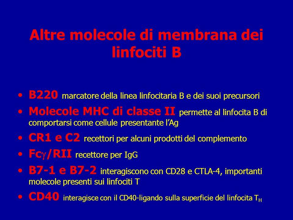 Altre molecole di membrana dei linfociti B