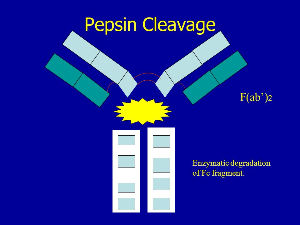 Pepsin Cleavage F(ab')2 Enzymatic degradation of Fc fragment.