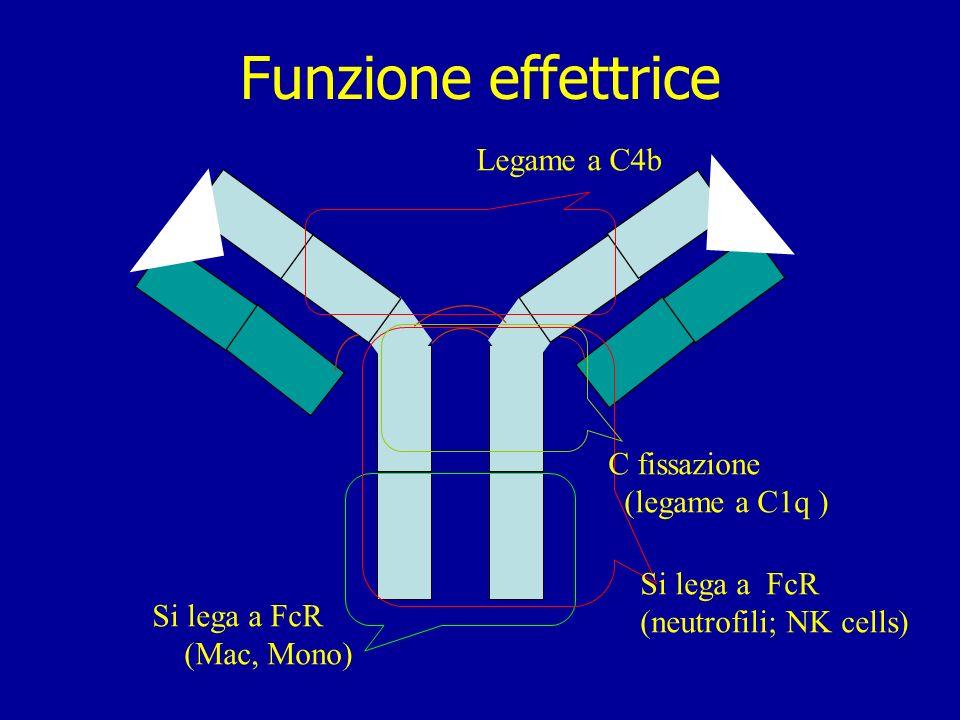 Funzione effettrice Legame a C4b C fissazione (legame a C1q )