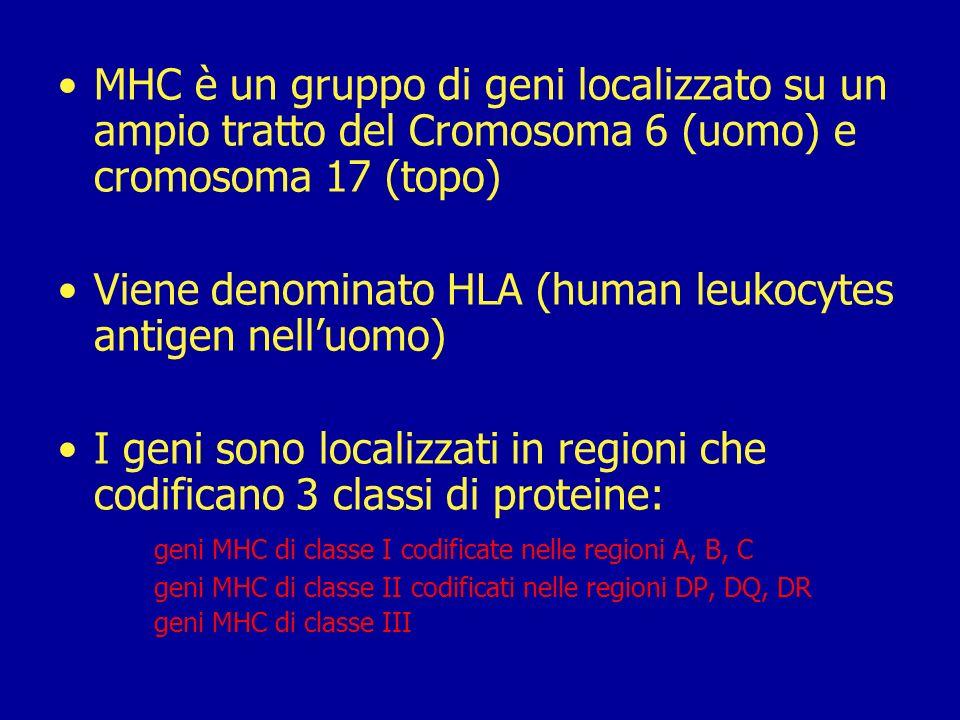 Viene denominato HLA (human leukocytes antigen nell'uomo)