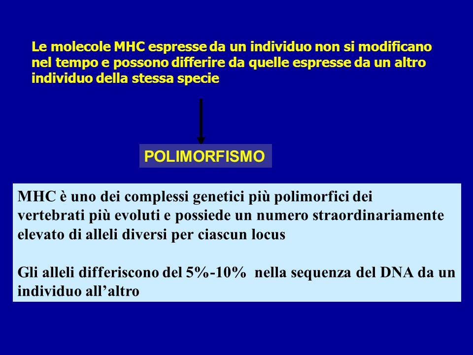 MHC è uno dei complessi genetici più polimorfici dei
