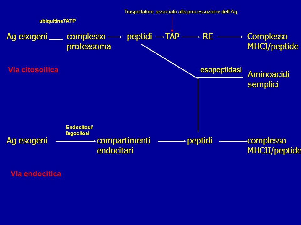 Ag esogeni complesso peptidi TAP RE Complesso proteasoma MHCI/peptide