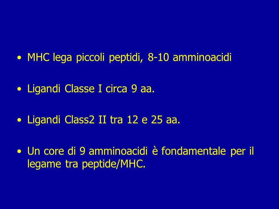 MHC lega piccoli peptidi, 8-10 amminoacidi