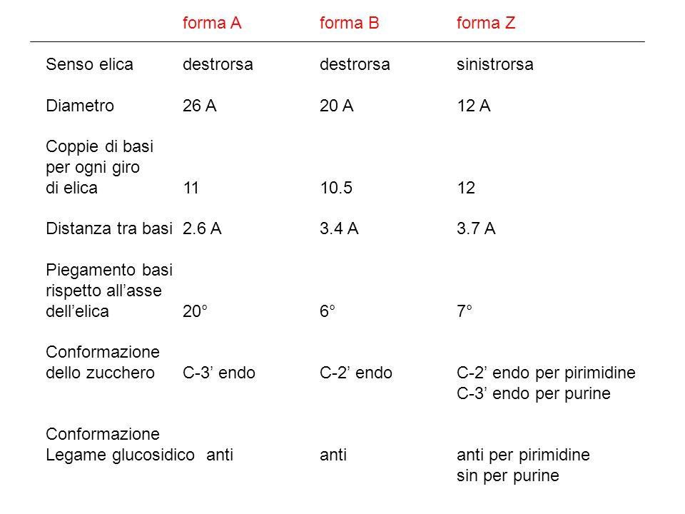 forma A forma B forma Z Senso elica destrorsa destrorsa sinistrorsa. Diametro 26 A 20 A 12 A. Coppie di basi.