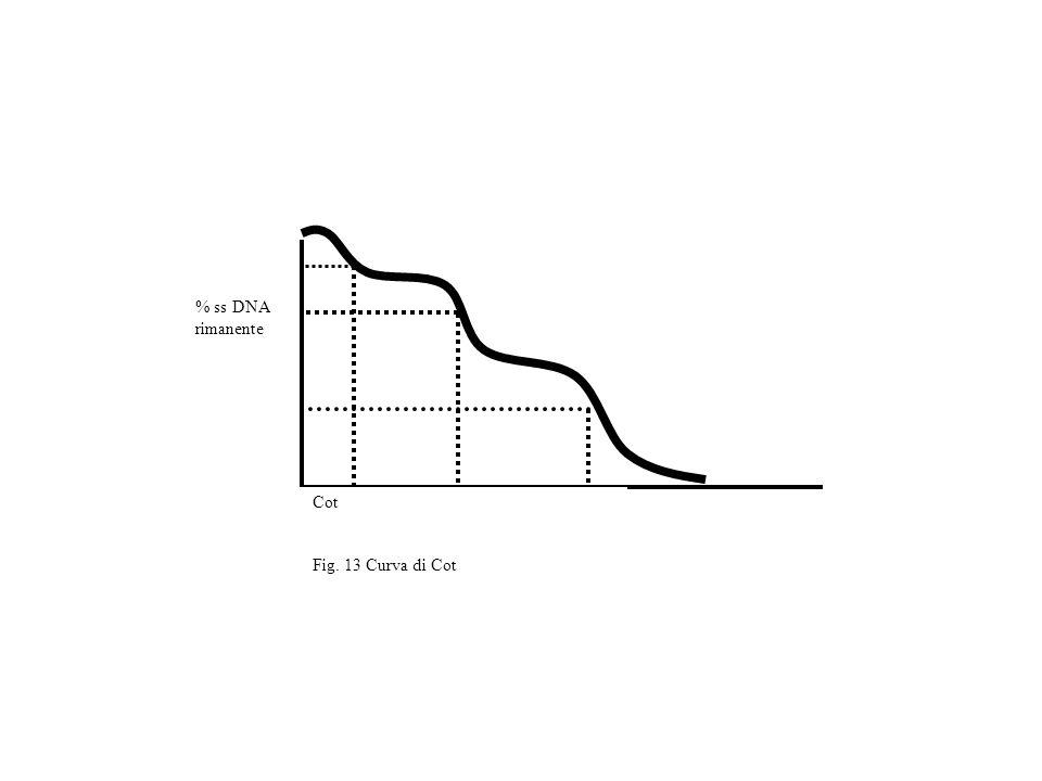 Cot Fig. 13 Curva di Cot % ss DNA rimanente