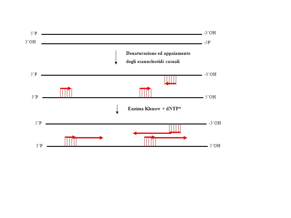 Denaturazione ed appaiamento degli esanucleotidi casuali