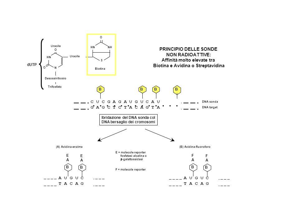 Affinità molto elevate tra Biotina e Avidina o Streptavidina