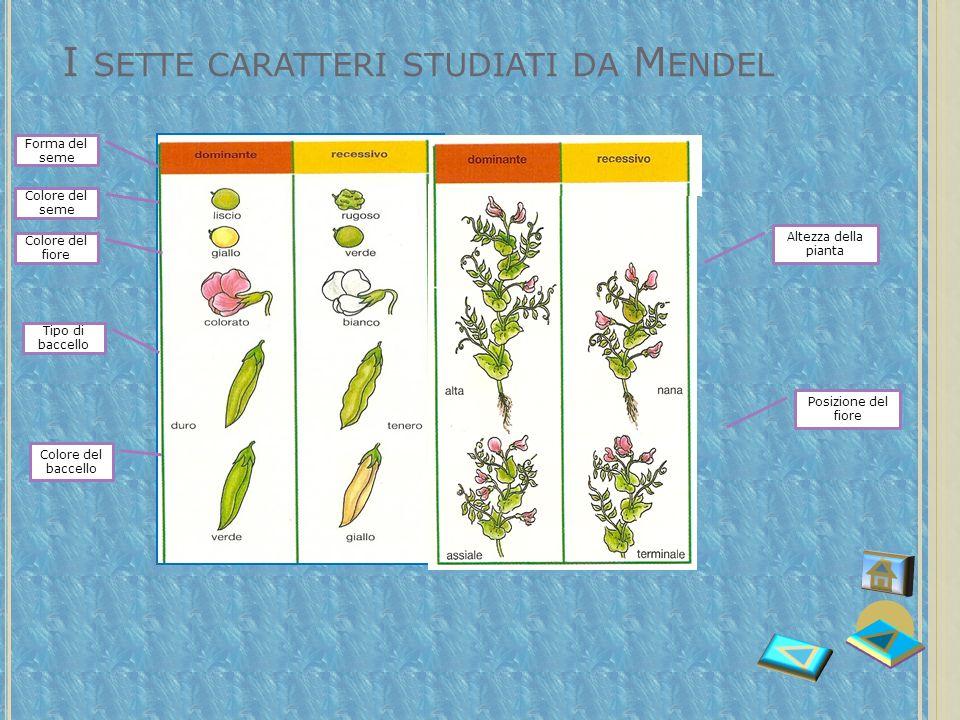 I sette caratteri studiati da Mendel