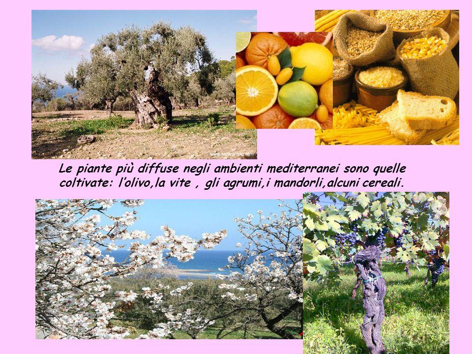 Le piante più diffuse negli ambienti mediterranei sono quelle coltivate: l'olivo,la vite , gli agrumi,i mandorli,alcuni cereali.