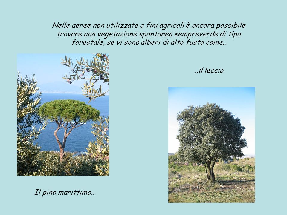 Nelle aeree non utilizzate a fini agricoli è ancora possibile trovare una vegetazione spontanea sempreverde di tipo forestale, se vi sono alberi di alto fusto come..