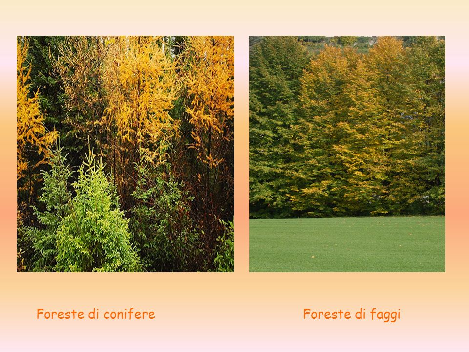 Foreste di conifere Foreste di faggi
