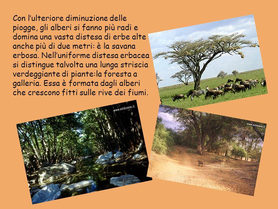 Con l'ulteriore diminuzione delle piogge, gli alberi si fanno più radi e domina una vasta distesa di erbe alte anche più di due metri: è la savana erbosa.