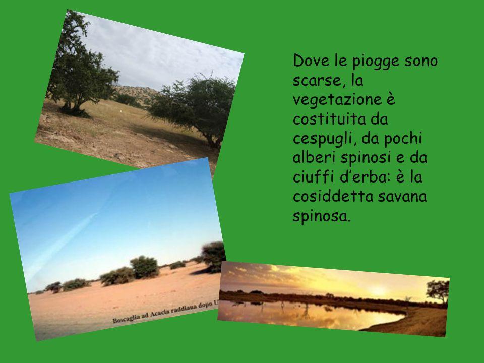 Dove le piogge sono scarse, la vegetazione è costituita da cespugli, da pochi alberi spinosi e da ciuffi d'erba: è la cosiddetta savana spinosa.