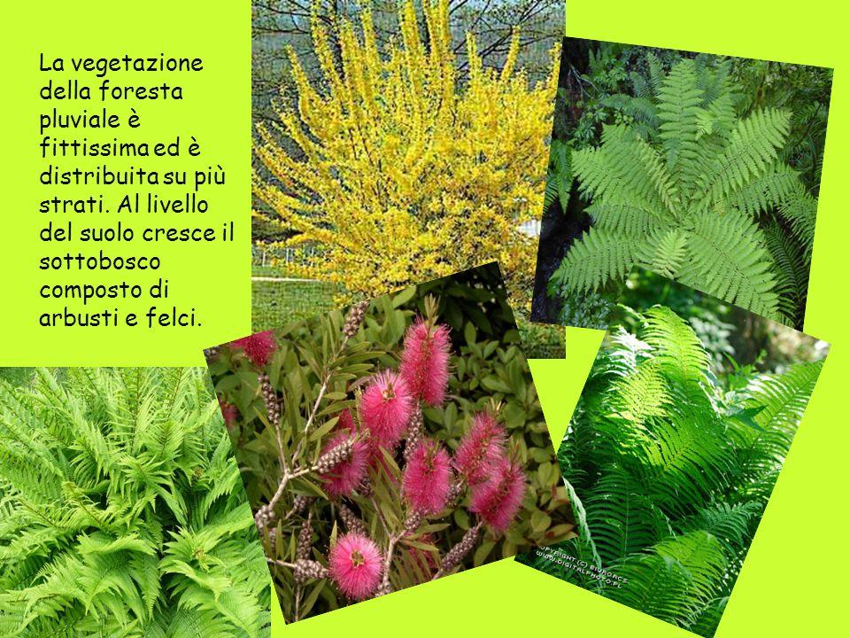 La vegetazione della foresta pluviale è fittissima ed è distribuita su più strati.
