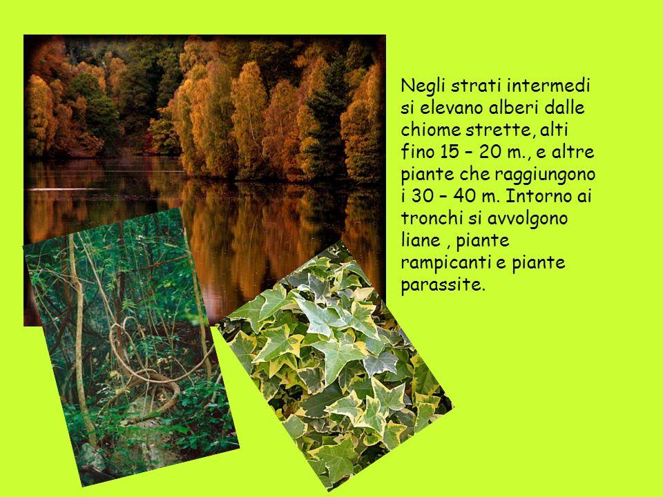 Negli strati intermedi si elevano alberi dalle chiome strette, alti fino 15 – 20 m., e altre piante che raggiungono i 30 – 40 m.
