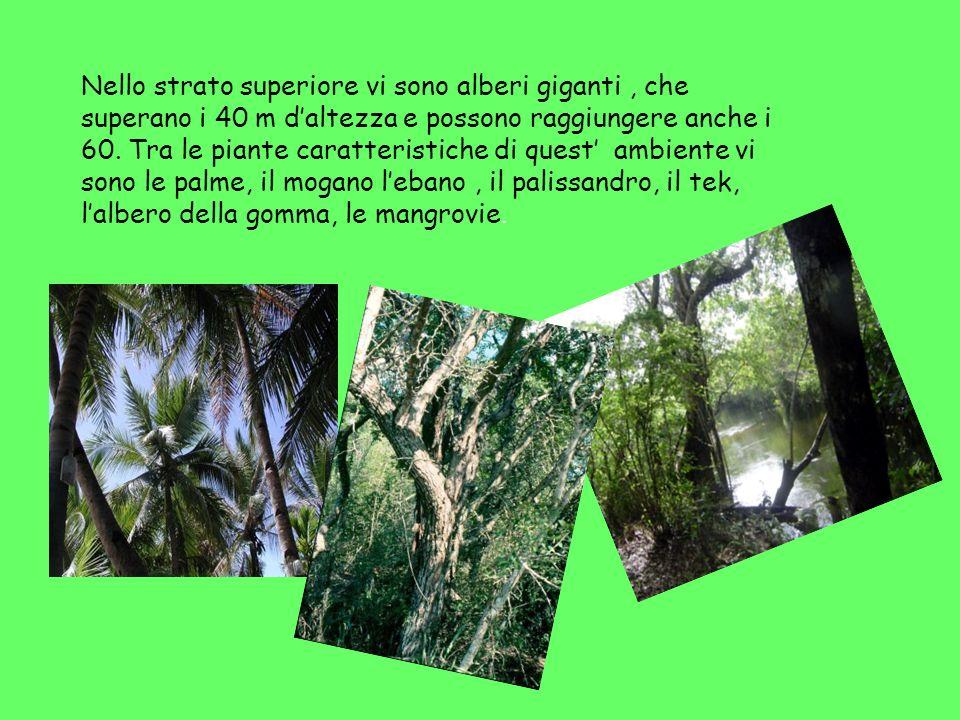 Nello strato superiore vi sono alberi giganti , che superano i 40 m d'altezza e possono raggiungere anche i 60.