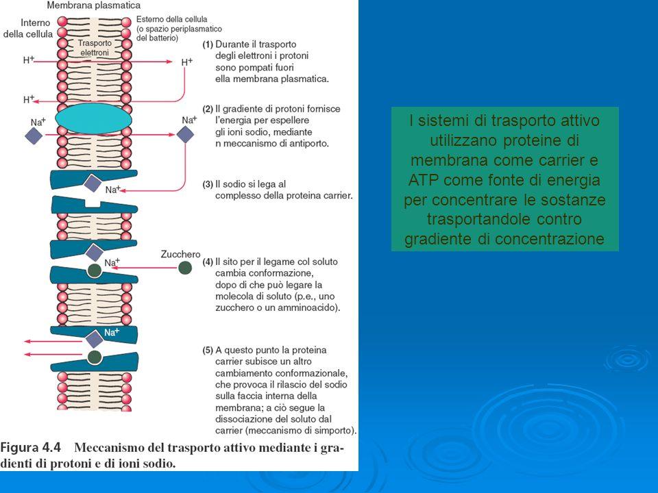 I sistemi di trasporto attivo utilizzano proteine di membrana come carrier e ATP come fonte di energia per concentrare le sostanze trasportandole contro gradiente di concentrazione