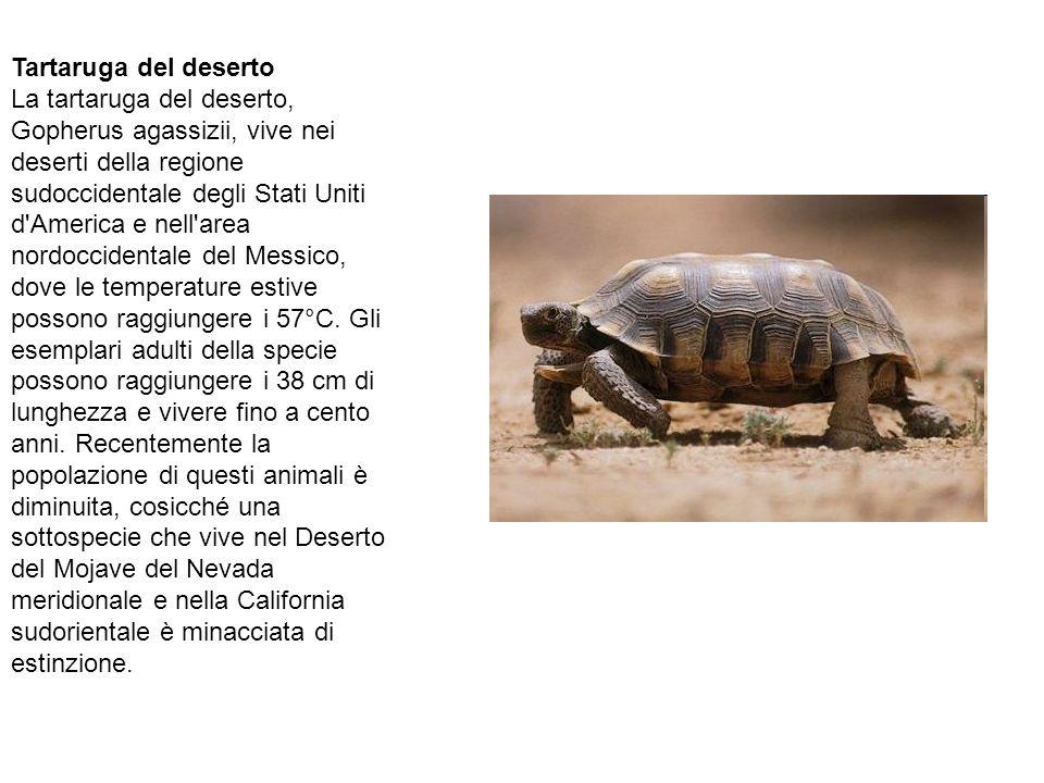 Tartaruga del deserto La tartaruga del deserto, Gopherus agassizii, vive nei deserti della regione sudoccidentale degli Stati Uniti d America e nell area nordoccidentale del Messico, dove le temperature estive possono raggiungere i 57°C.