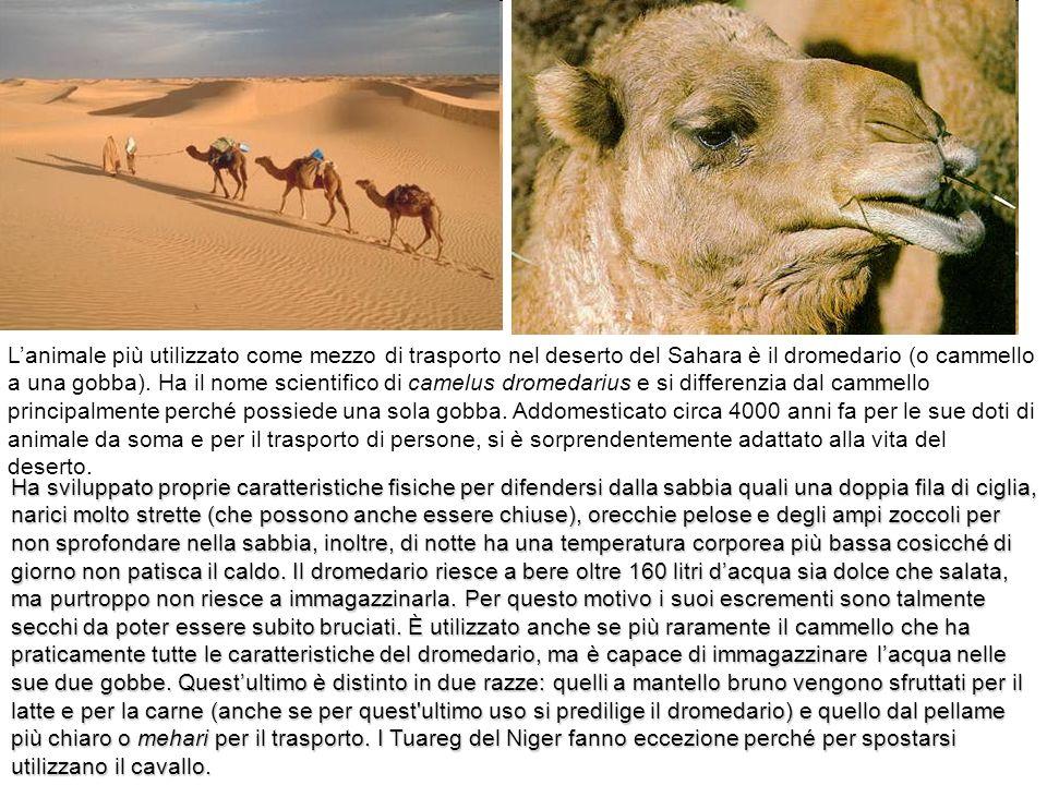 L'animale più utilizzato come mezzo di trasporto nel deserto del Sahara è il dromedario (o cammello a una gobba). Ha il nome scientifico di camelus dromedarius e si differenzia dal cammello principalmente perché possiede una sola gobba. Addomesticato circa 4000 anni fa per le sue doti di animale da soma e per il trasporto di persone, si è sorprendentemente adattato alla vita del deserto.