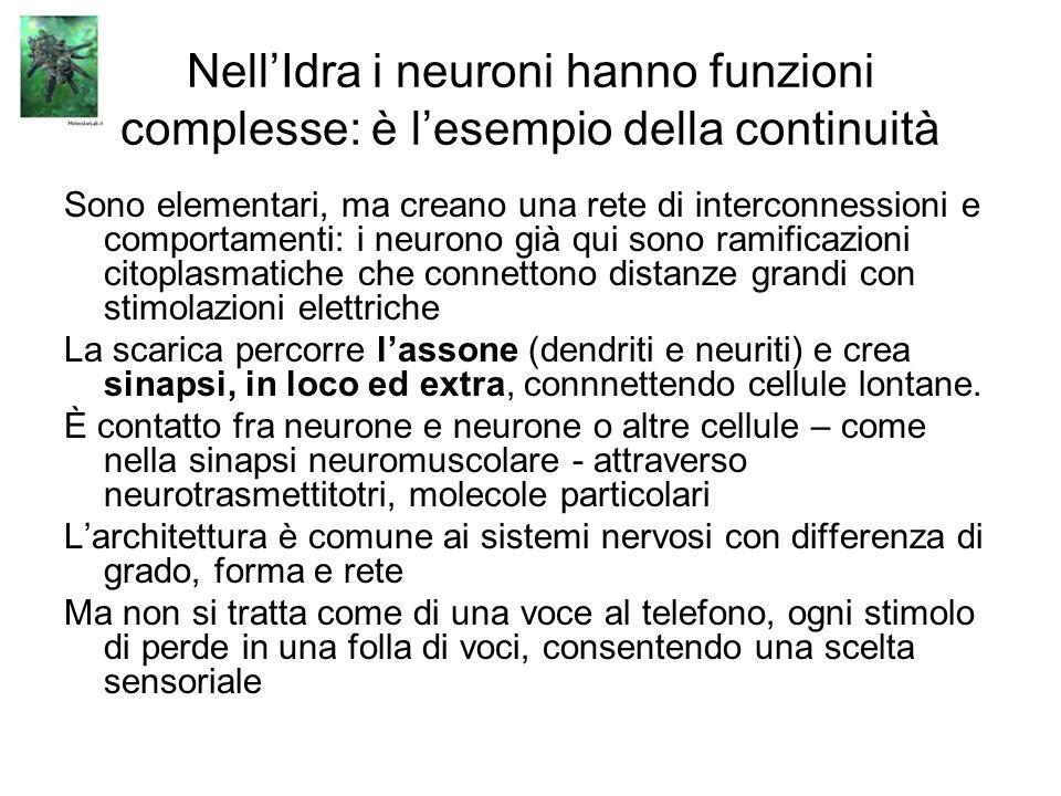 Nell'Idra i neuroni hanno funzioni complesse: è l'esempio della continuità