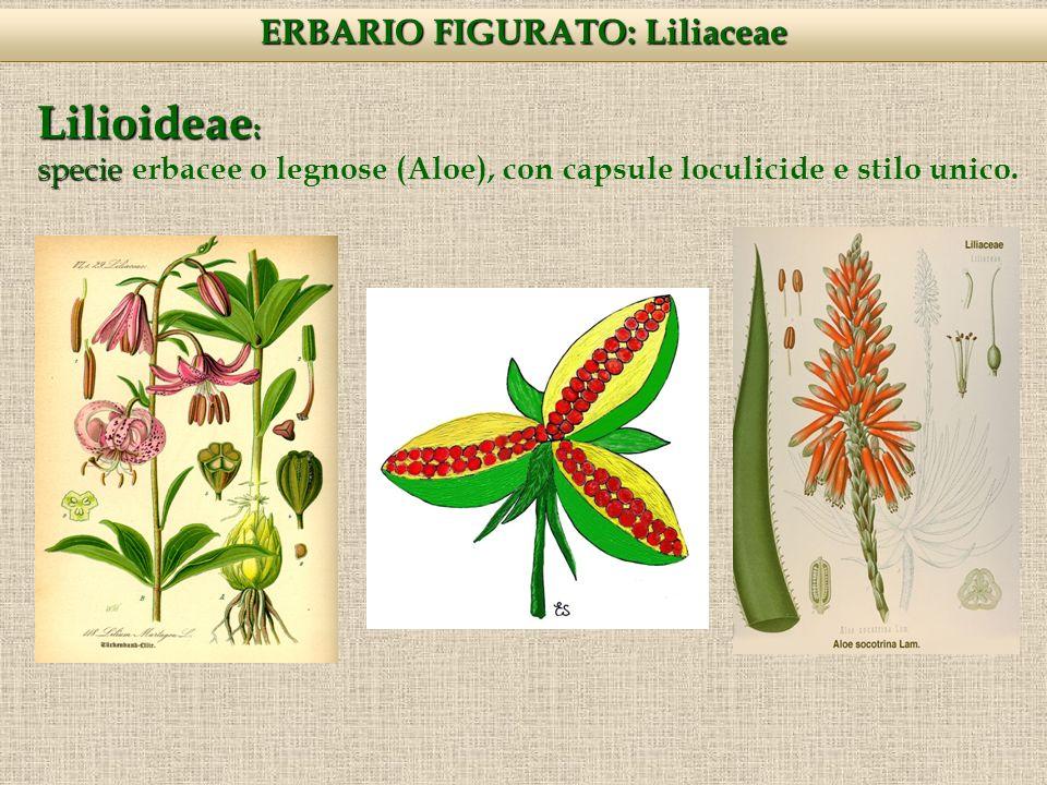 ERBARIO FIGURATO: Liliaceae