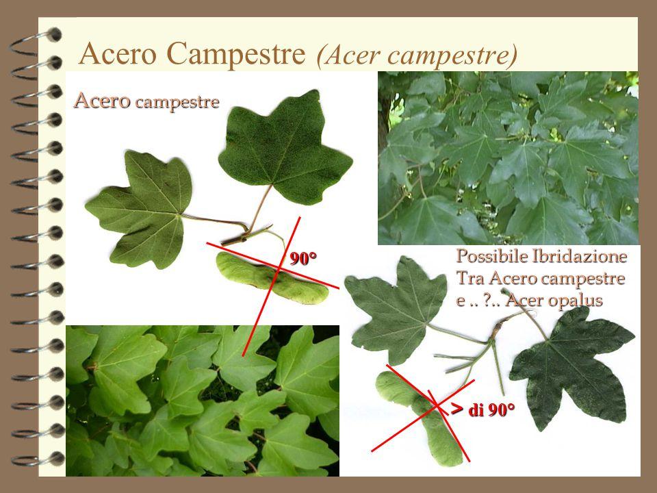 Acero Campestre (Acer campestre)