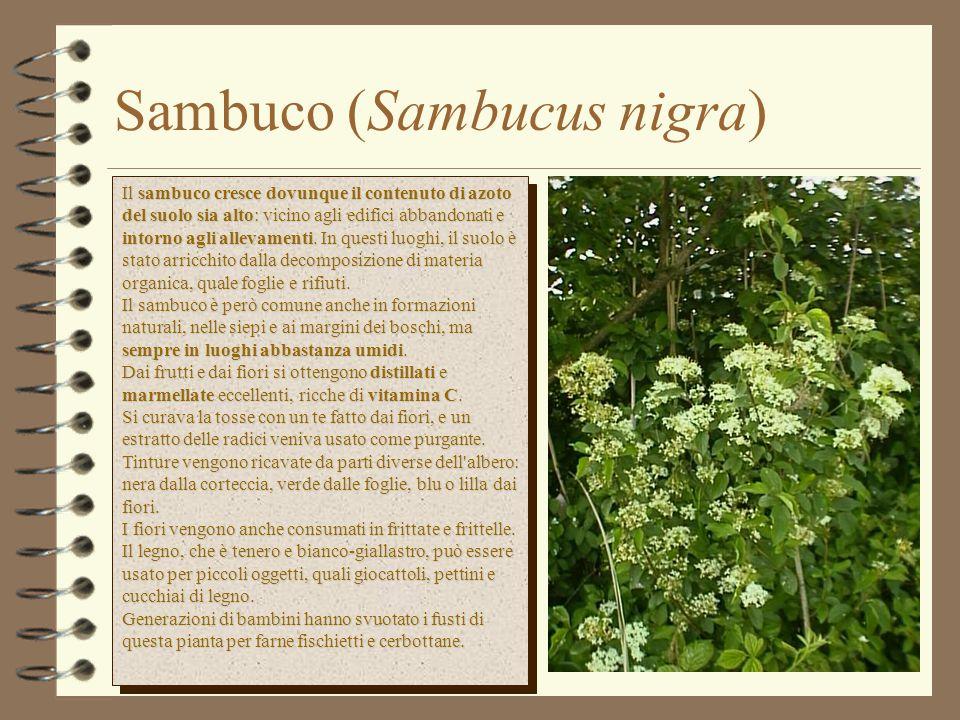 Sambuco (Sambucus nigra)