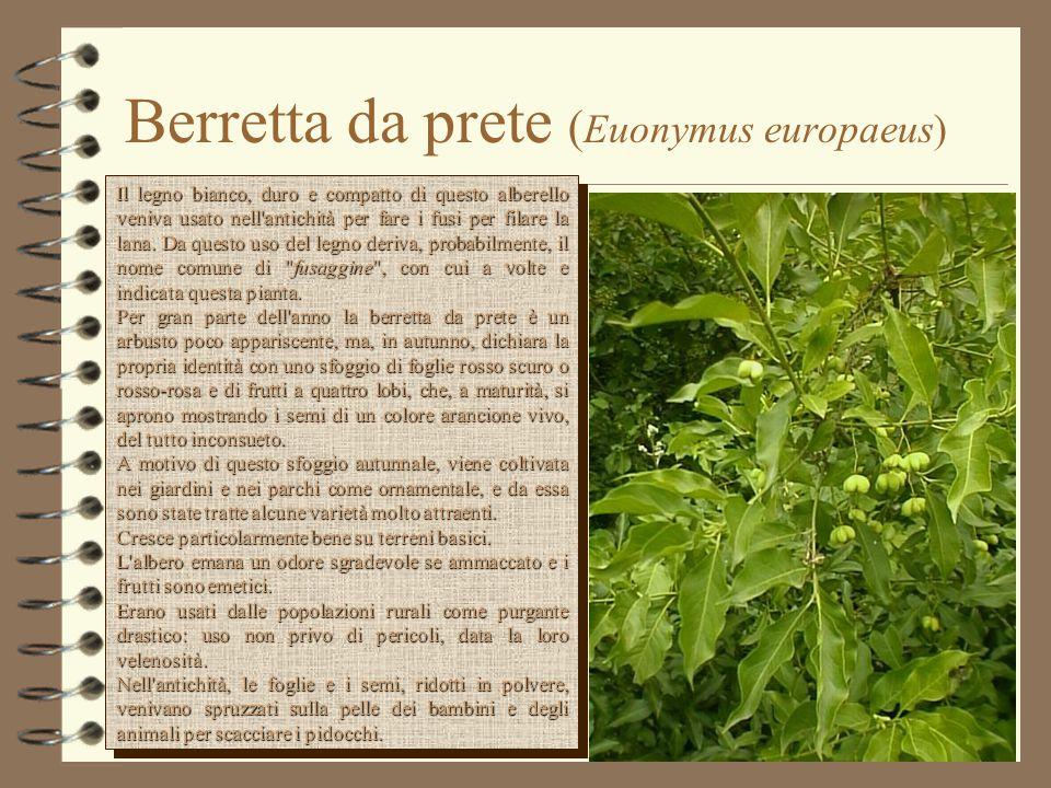 Berretta da prete (Euonymus europaeus)