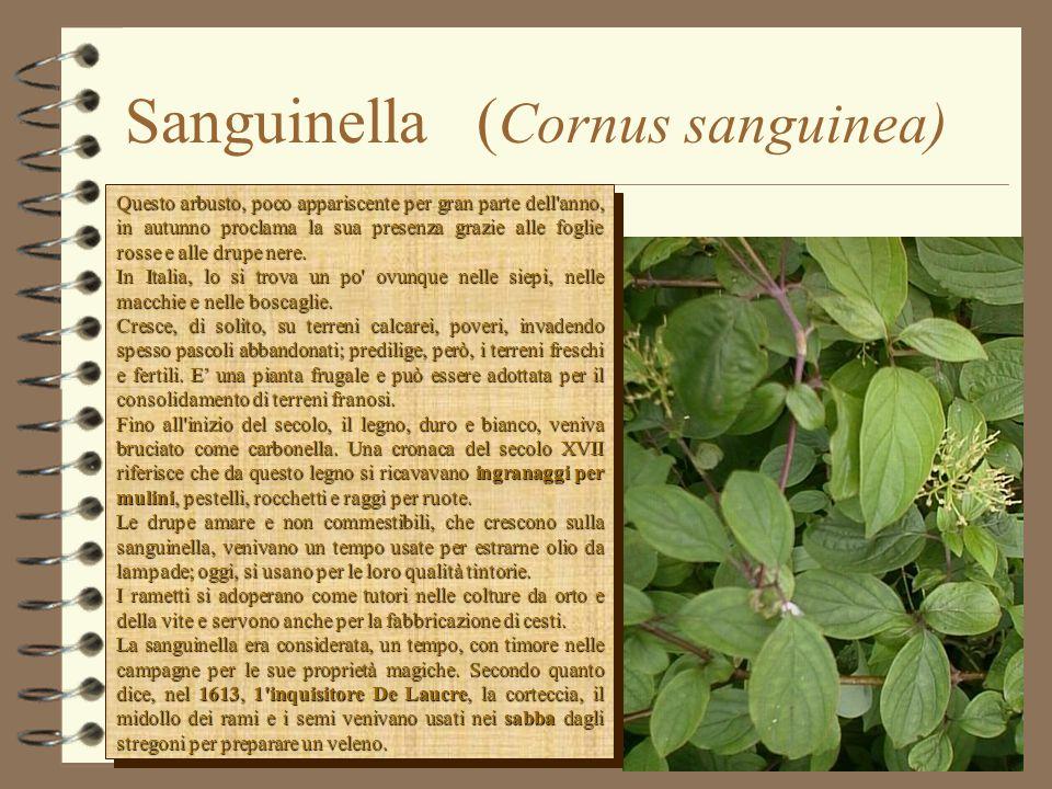 Sanguinella (Cornus sanguinea)