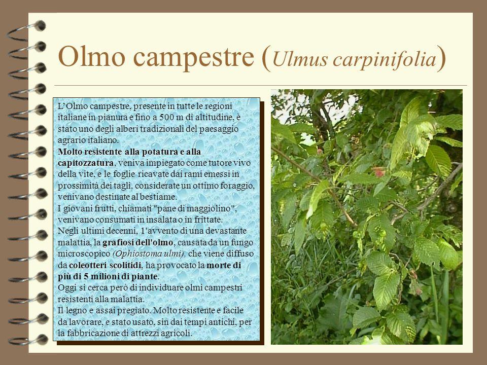 Olmo campestre (Ulmus carpinifolia)