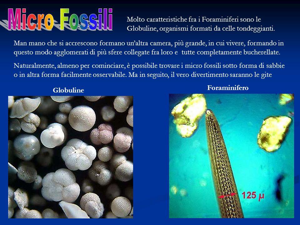 Micro Fossili Molto caratteristiche fra i Foraminiferi sono le Globuline, organismi formati da celle tondeggianti.