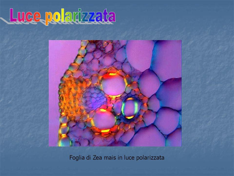 Luce polarizzata Foglia di Zea mais in luce polarizzata