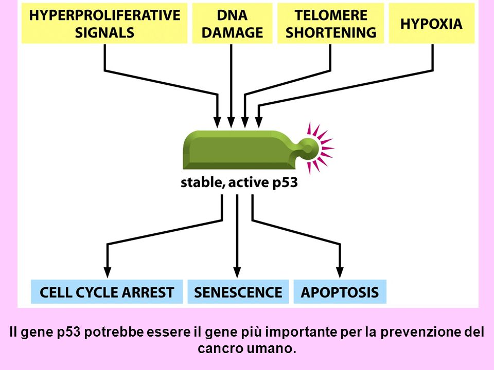 Il gene p53 potrebbe essere il gene più importante per la prevenzione del cancro umano.