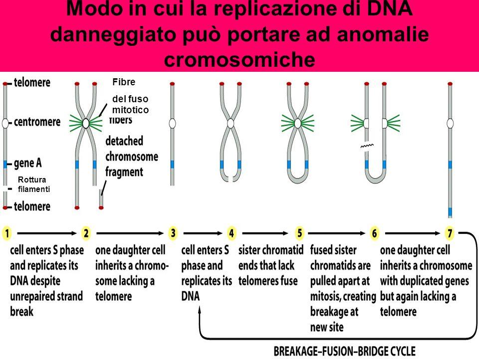 Modo in cui la replicazione di DNA danneggiato può portare ad anomalie cromosomiche