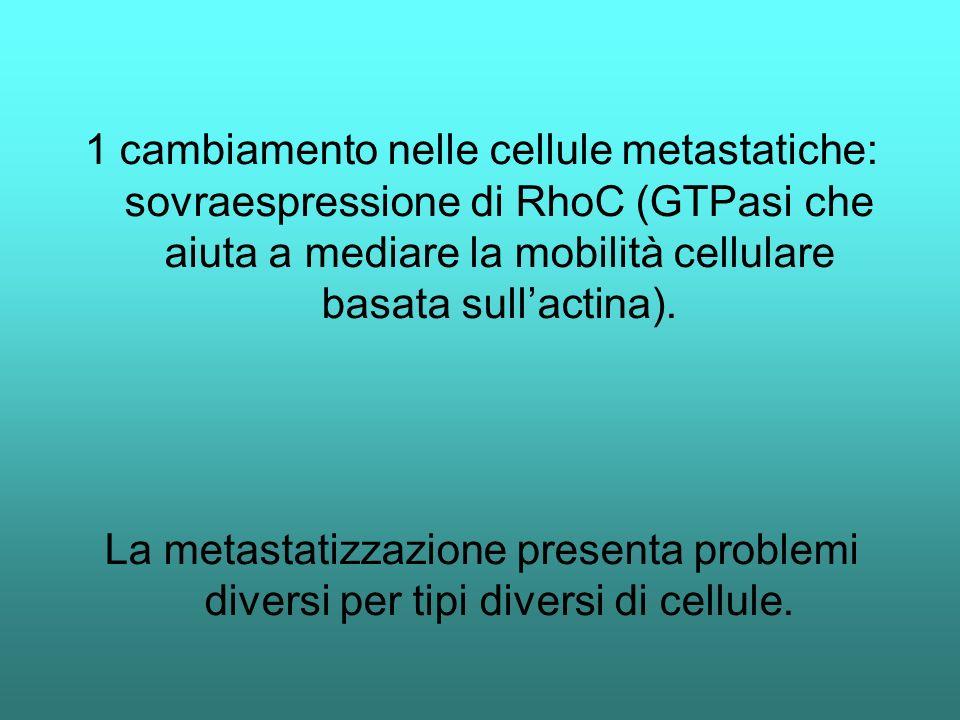 1 cambiamento nelle cellule metastatiche: sovraespressione di RhoC (GTPasi che aiuta a mediare la mobilità cellulare basata sull'actina).