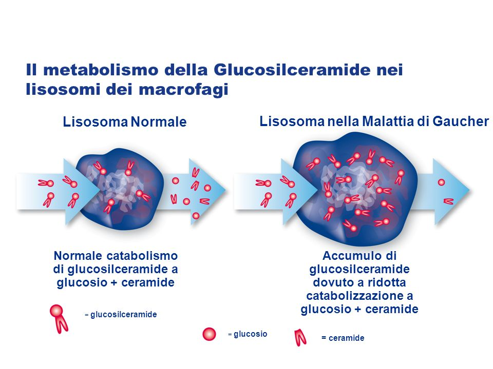 Normale catabolismo di glucosilceramide a