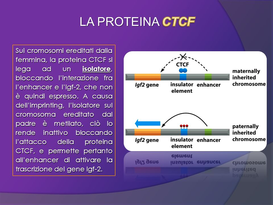 LA PROTEINA CTCF