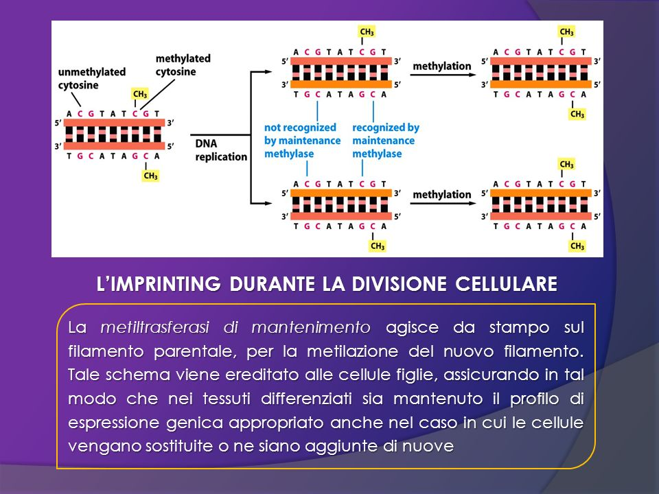 L'IMPRINTING DURANTE LA DIVISIONE CELLULARE