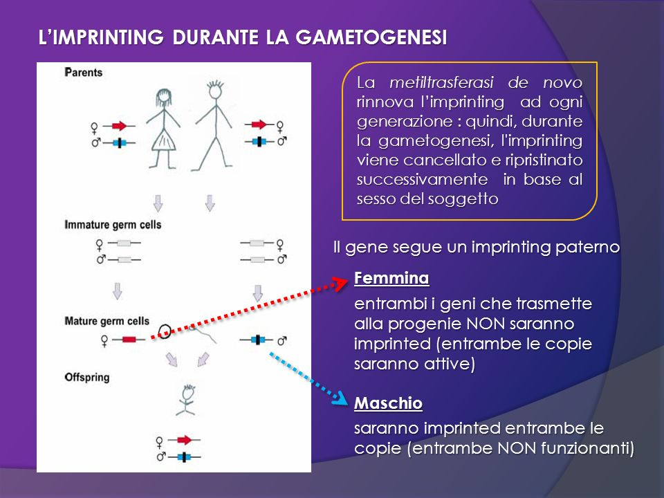 L'IMPRINTING DURANTE LA GAMETOGENESI