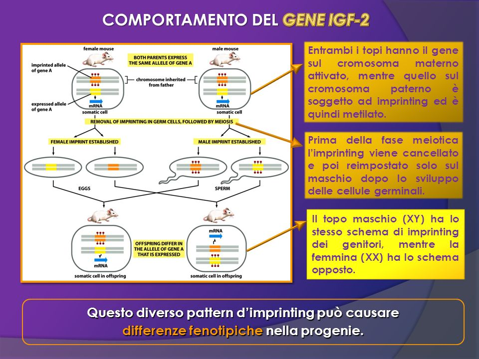 COMPORTAMENTO DEL GENE IGF-2