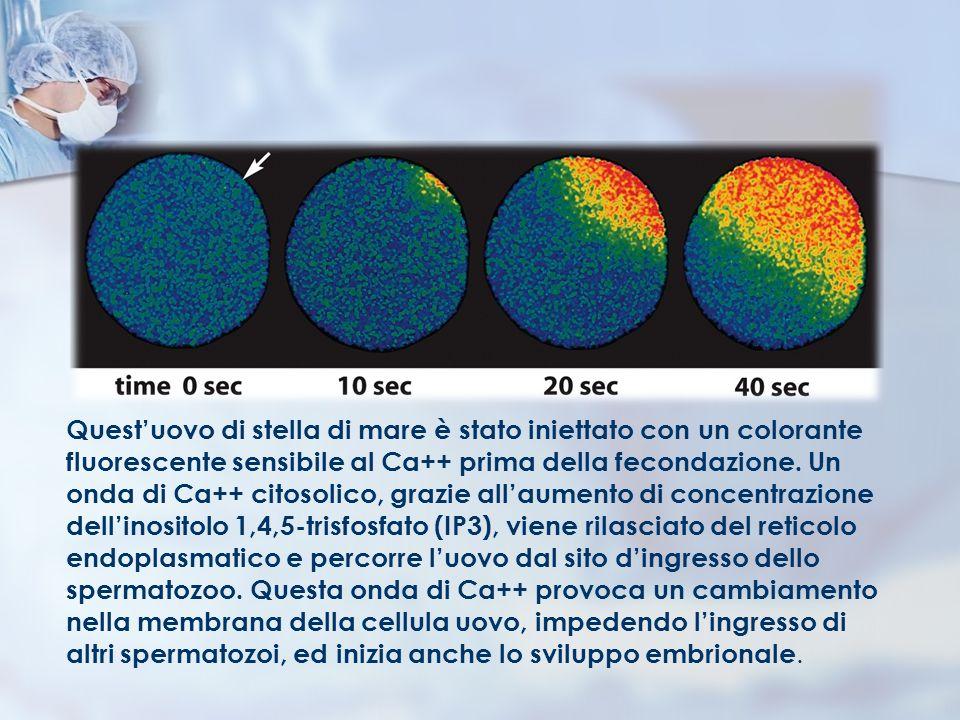 Quest'uovo di stella di mare è stato iniettato con un colorante fluorescente sensibile al Ca++ prima della fecondazione.