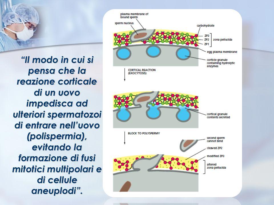 Il modo in cui si pensa che la reazione corticale di un uovo impedisca ad ulteriori spermatozoi di entrare nell'uovo (polispermia), evitando la formazione di fusi mitotici multipolari e di cellule aneuplodi .