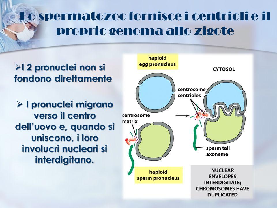 Lo spermatozoo fornisce i centrioli e il proprio genoma allo zigote