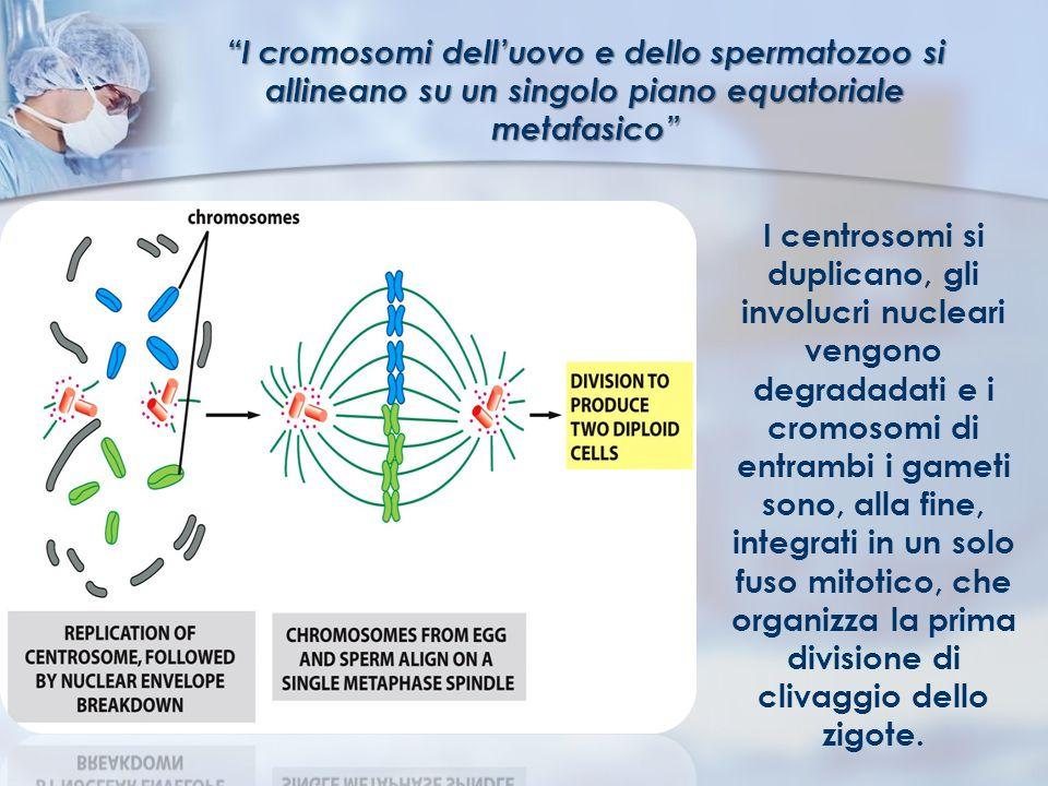 I cromosomi dell'uovo e dello spermatozoo si allineano su un singolo piano equatoriale metafasico