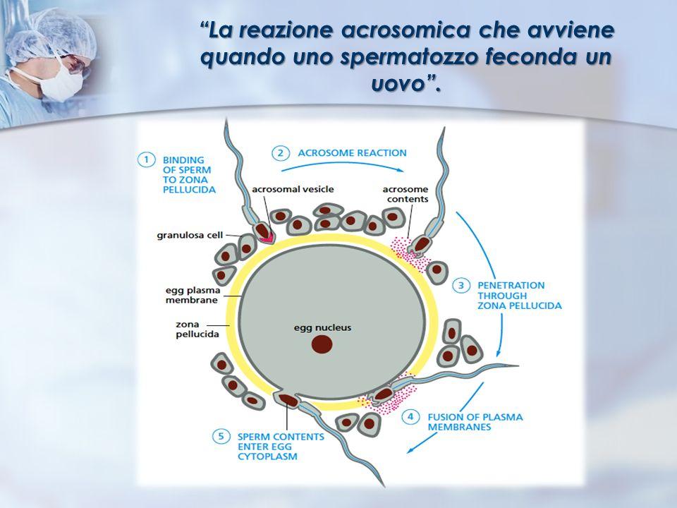 La reazione acrosomica che avviene quando uno spermatozzo feconda un uovo .